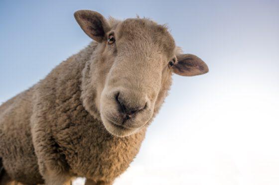 sheep-560x372.jpg